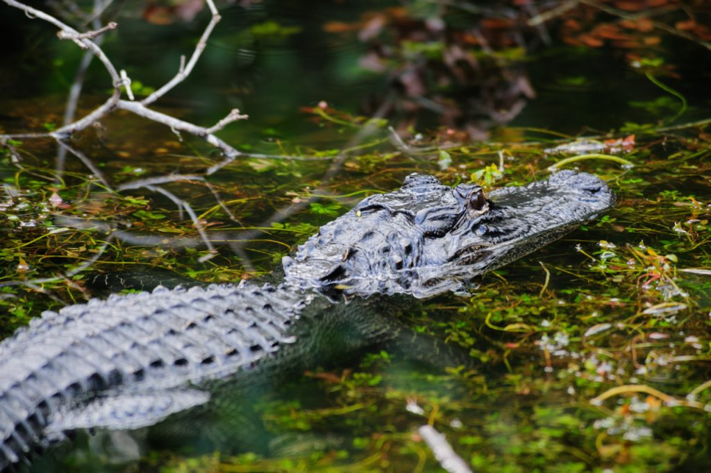 Close up side view of an alligator in the Florida Everglades