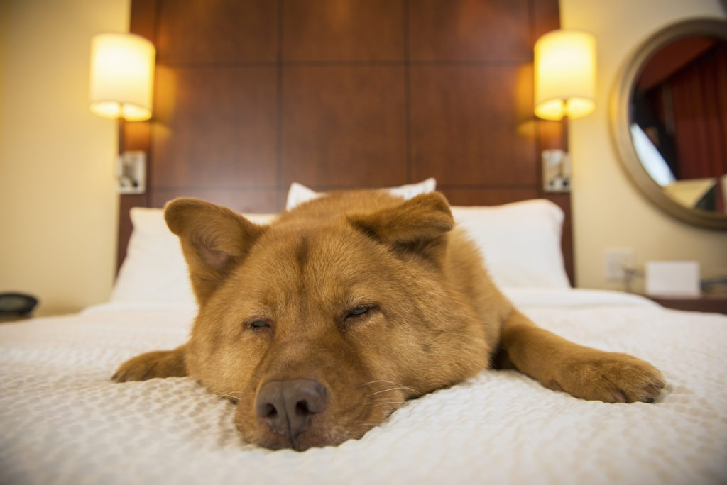 Dog half asleep on bed in hotel room