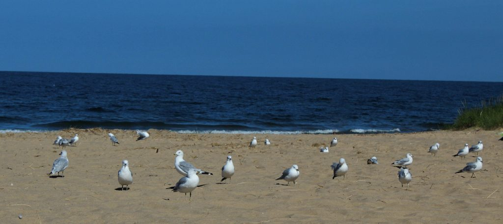 Lake Michigan Oval beach, sea gulls resting on the hot sand